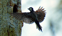Forestland Stewards Woodpecker